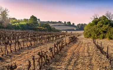Vignoble des Pyrénées-Orientales.