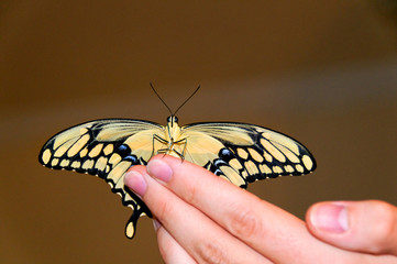 Giant Swallowtail on Man's Hand
