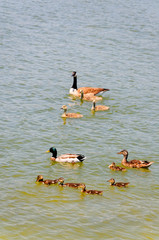 Goose and Duck Families