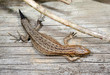 common lizard growing new tail