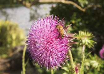 Honey bee on allium flower