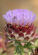 macro of blooming artichoke in garden