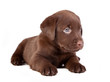chocolate puppy labradoris lying on the white