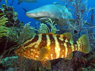 Lemon shark and grouper