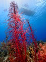Sea ferns in the Caribbean