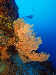 Gorgonian on a wall