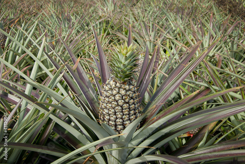 Pineapple, tropical fruit
