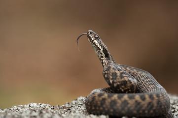 Snake flicking its tongue