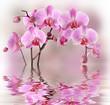 Fototapeten,orchid,orchid,phalaenopsis,rosa
