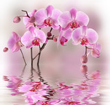 Fototapety Pink orchids with water reflexion