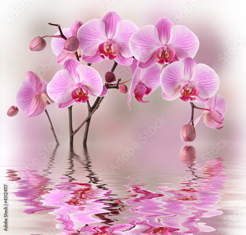 Aluminium Orchidee Pink orchids with water reflexion