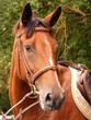 Bay horse with brown bridle