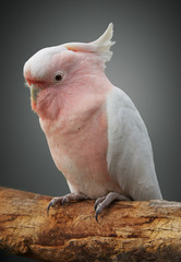 Major Mitchell cockatoo on a perch