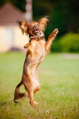 russian toy dog dancing