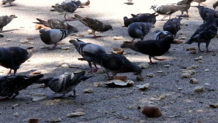 Flock of pigeons in the city