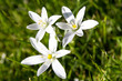 Spring flower Star of Bethlehem