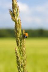 ladybug on a spike of grass, close-up