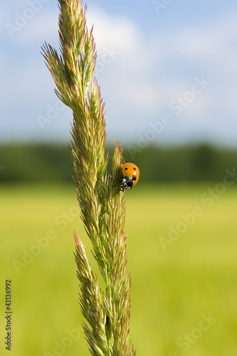 ladybug on a spike of grass, close-up