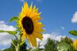 Sonnenblumen