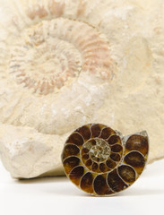 small ammonite cut / polished, big ammonite fossil background