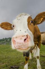 Curiosità bovina