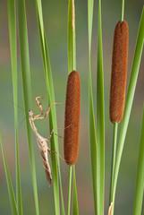 Mantis on cattails