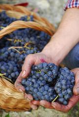 Manos sujetando un racimo de uvas,cosecha de uvas,viñedo.