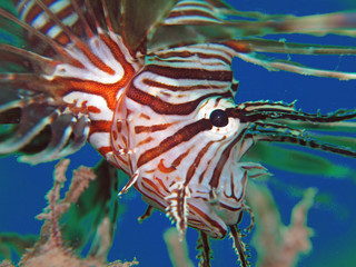 Common lionfish portrait