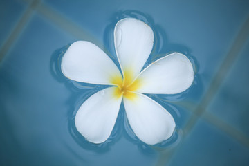 Frangipani flower in the swimming pool