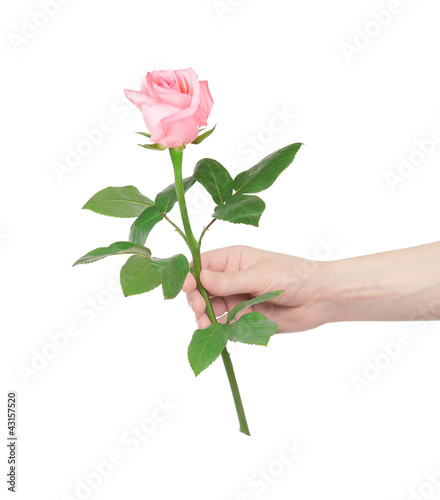 flower rose in hand men