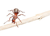 Ant drags stick on white background. Symbol of hard work