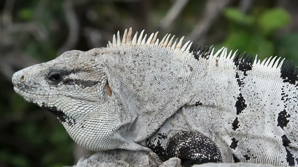 a shot of an iguana in mexico