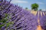 Fototapety Lavender field. The plateau of Valensole in Provence