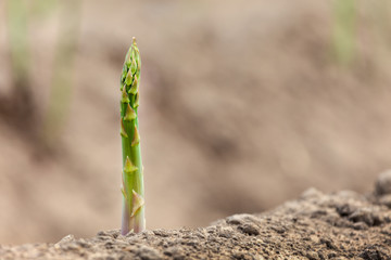 Single aspargus on soil ready to harvest