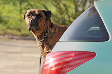 chien dans un coffre de voiture