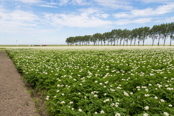 Blooming potato field in the Netherlands