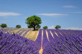 LLavender field The plateau of Valensole in Provence