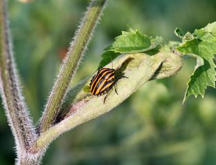 Клоп Щитник полосатый (Graphosoma lineatum)