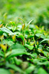 Ulong tea farm