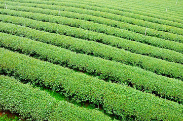 Ulong tea farm