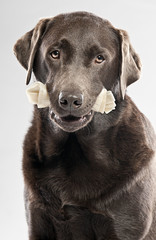 Labrador with Rawhide