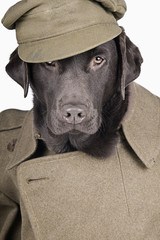 Labrador in Army Uniform