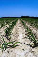 Drought damaged corn field in Midwest United States