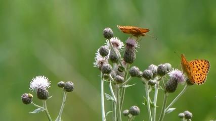 Farfalle arancioni su fiori di cardo
