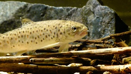 Trota Fario   Brown trout