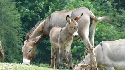 Asinello con madre