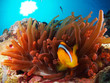 Clownfish in red anemone