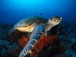 Hawksbill Turtle 1