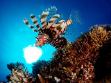 Lionfish hunting on the Carnatic