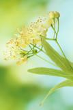 Fototapety Branch of linden flowers in garden